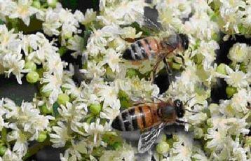 Эводия – пчелиное дерево