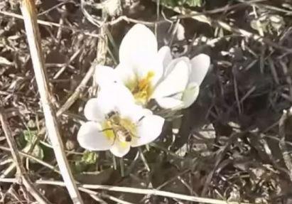 Пчела на крокусе собирает пыльцу и нектар ранней весной
