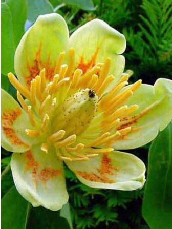Тюльпановое дерево медонос